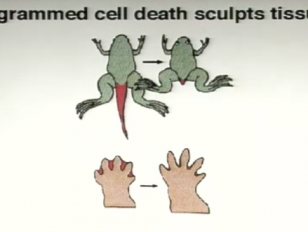 Programmed Cell Death in Development and Disease - Lindau Nobel - Robert Horvitz - Medicine 2010