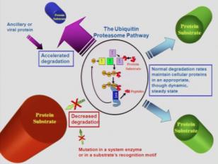 The Ubiquitin Proteolytic System as a Novel Drug Development Platform Lindau-Nobel Aaron Ciechanover 2011