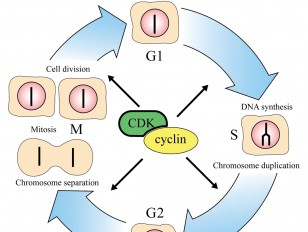 The cell cycle - L-N - Hunt - M 2007