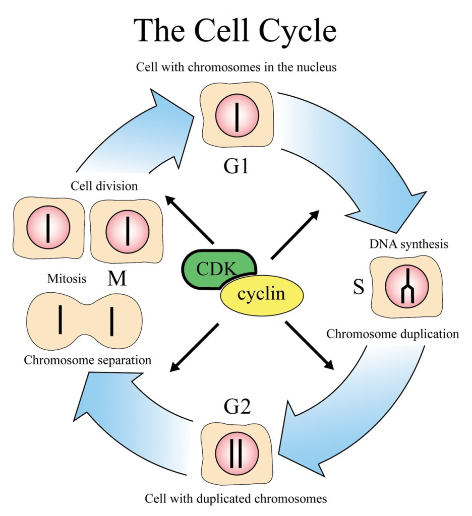 Geoset the cell cycle and cancer ccuart Image collections