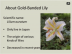Gold-banded lillies